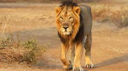 458731-asiatic-lions-guj-govt-website